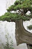 Een bonsaiboom in een tuin in Suzhou Stock Foto's