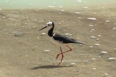 Een bonte stelt, een gevoelige waterbird, bij een meer` s rand royalty-vrije stock foto