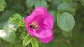 Een bonthommel in een roze bloem verzamelt stuifmeelclose-up stock footage