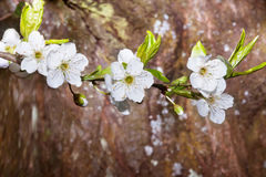 Een boom in bloei, de lente kwam aan Royalty-vrije Stock Afbeeldingen