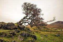 Een boom is bochtig van wind in het Schotse hoogland royalty-vrije stock foto's