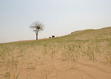 Een boom in de woestijn Stock Afbeeldingen