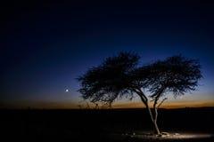 Een boom in de woestijn door schemer Stock Afbeelding