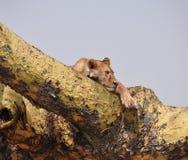 Een boom die leeuw beklimmen die op een tak rusten Stock Afbeeldingen