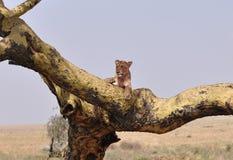 Een boom die leeuw beklimmen die op een tak rusten Royalty-vrije Stock Foto