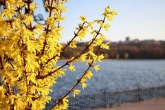 Een boom die met gele bloemen bloeien stock foto's