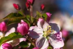 Een boom die in roze bloemen bloeien Stock Foto