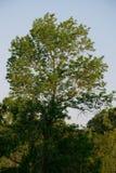 Een boom die voor de zon bereiken Stock Foto