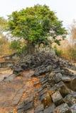 Een boom komt uit de tempelruïnes voort in Beng Mealea dichtbij Siem aangaande Stock Foto's