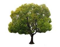 Een boom met een witte achtergrond no14 Royalty-vrije Stock Foto's