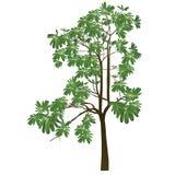 Een boom met groen doorbladert Stock Foto's