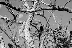 Een boom met kraaien Stock Foto