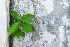 Een boom op oude muur Stock Foto