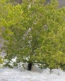 een boom probeert houden bevindend in vloedwateren Stock Afbeeldingen