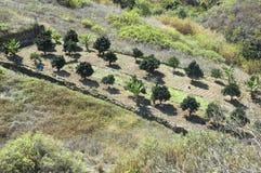 Een boomgaard in Firgas, Gran Canaria Royalty-vrije Stock Foto's