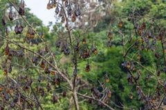 Een boomhoogtepunt van het roosting van vleerhonden Royalty-vrije Stock Foto's