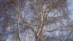 Een boomstam van een berk zonder bladeren stock videobeelden