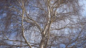 Een boomstam van een berk zonder bladeren stock video