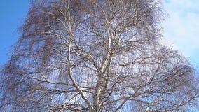 Een boomstam van een berk zonder bladeren stock footage