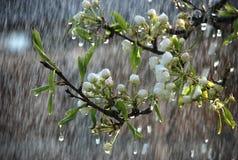 Een boomtak met bloemen in de regen Stock Afbeeldingen