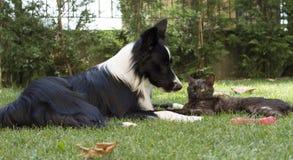 Een border collie-puppyslaap met een kat wordt gekoesterd die Royalty-vrije Stock Fotografie