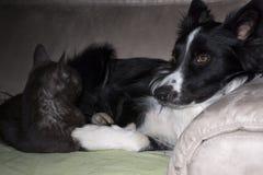 Een border collie-puppyslaap met een kat wordt gekoesterd die Stock Afbeelding