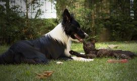 Een border collie-puppyspelen gelukkig met een kat Stock Afbeeldingen