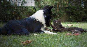 Een border collie-puppyspelen gelukkig met een kat Stock Fotografie
