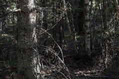 Een bos met een oude, droge boom met schors, mos en zonlicht stock foto