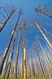 Een bos na recente wildfire. Royalty-vrije Stock Foto's