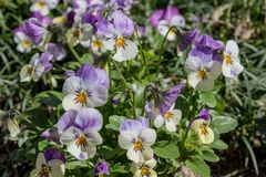 Een Bos Pansy Flowers In Bloom royalty-vrije stock foto's