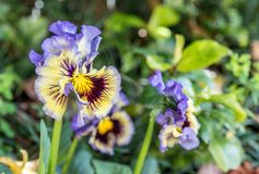 Een Bos Pansy Flowers In Bloom royalty-vrije stock foto