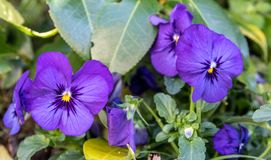 Een Bos Pansy Flowers In Bloom stock fotografie