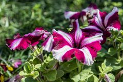 Een Bos Pansy Flowers In Bloom royalty-vrije stock fotografie