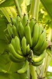 Een bos van bananen Stock Foto's