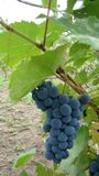 Een bos van blauwe druiven Royalty-vrije Stock Foto