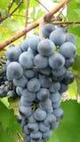 Een bos van blauwe druiven Stock Foto's