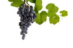 Een bos van blauwe druiven op een tak Royalty-vrije Stock Foto's