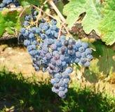 Een bos van blauwe en purpere druiven Royalty-vrije Stock Foto