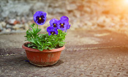 Een bos van blauwe viooltjes in pot Stock Foto's
