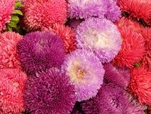Een bos van diverse het tot bloei komen asters als bloemachtergrond Royalty-vrije Stock Afbeeldingen