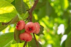 Een bos van djamboevruchten op een tak Stock Afbeelding