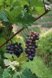 Een bos van donkere druiven Royalty-vrije Stock Afbeeldingen