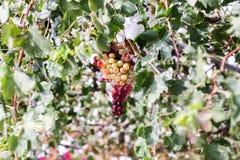 Een bos van druiven Stock Foto's
