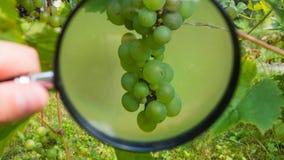 Een bos van druiven die op een struik rijpen die, door een vergrootglas wordt waargenomen Het concept gezondheid of de beoordelin royalty-vrije stock foto's
