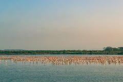 Een Bos van en Flamingo's die vliegen rusten Royalty-vrije Stock Foto