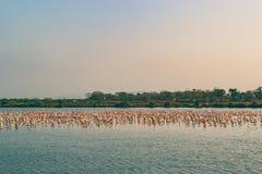 Een Bos van en Flamingo's die vliegen rusten Stock Afbeeldingen