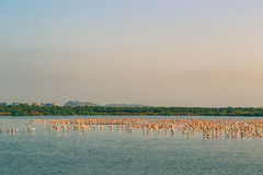 Een Bos van en Flamingo's die vliegen rusten Stock Fotografie