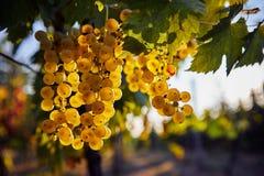 Een bos van gele druiven die op een wijngaard hangen stock afbeelding