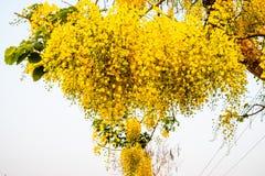 Een bos van gele Gouden Douchebloem tegen heldere witte achtergrond royalty-vrije stock fotografie